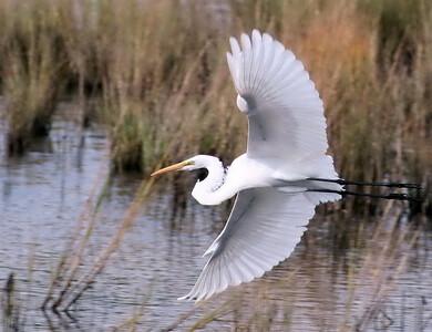 David Keener - Elegant Egret