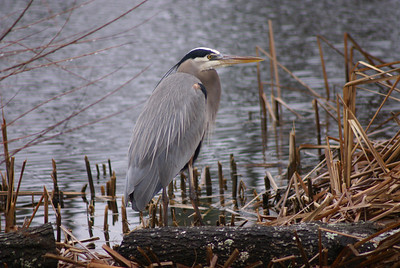 Dan Dauchess - Great blue Heron in the Rain