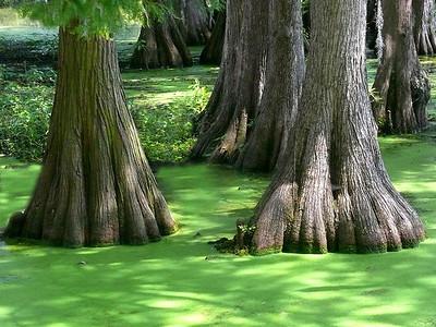 Irene Dowdy - Swamp Cypress