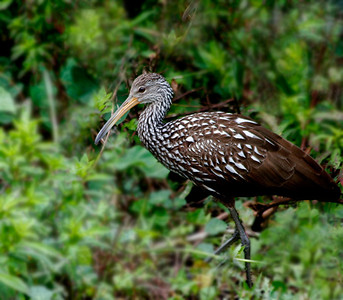 "Mark Weiss - ""Lovely Limpkin"""