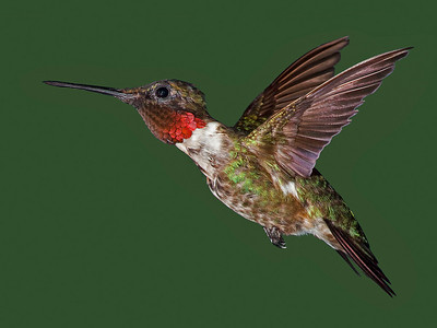 "Jerry Koons - ""Male Ruby - Throated Hummingbird"""