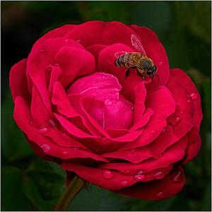 Bee on Rose - Harvey Augenbraun - PSA Score 11