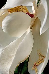 magolia petals - Joe Colavita - PSA Score 9