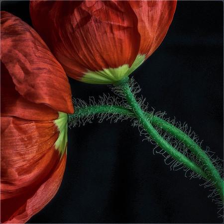 poppy love -Anastasia Tompkins - PSA Score 12 HM
