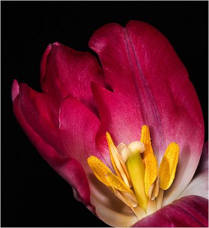 18 Red tulip