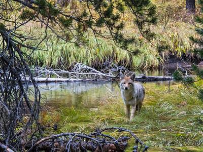 8 Coyote