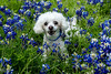 20140419 - Bella and Shadow in the Blue Bonnets - 6808-Edit