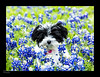 20140419 - Bella and Shadow in the Blue Bonnets - 6771-Edit