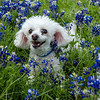 20140419 - Bella and Shadow in the Blue Bonnets - 6806-Edit