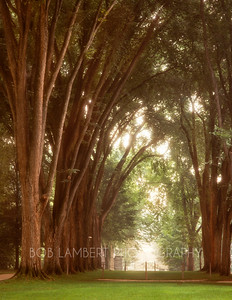 """Elm Trees, Penn State"""