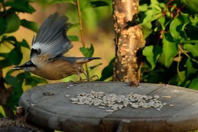 Nese si v zobáku  zásoby a ukládá si je v lese, odkud se vrací na krmítko.