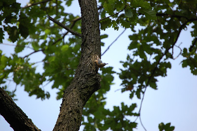 V lese ... většinou hlavou dolů s tělem prohnutým do tvaru lodičky.