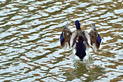 Křídla divokých kachen
