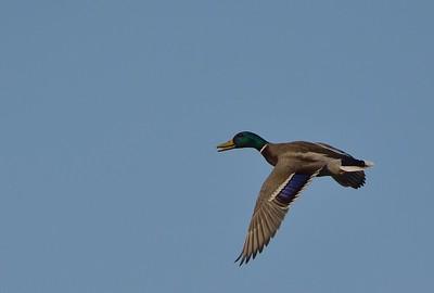 Let divokých kachen