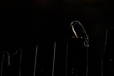 Modraszka, Cyanistes caeruleus, 002