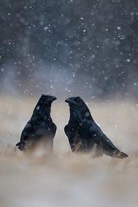 Kruk, Corvus corax, 004
