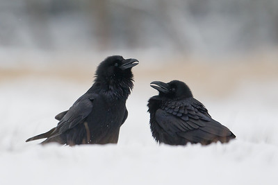 Kruk, Corvus corax, 003