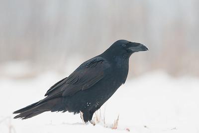 Kruk, Corvus corax, 001