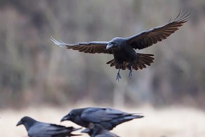 Kruk, Corvus corax, 006