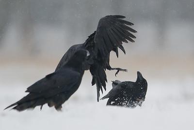 Kruk, Corvus corax, 002