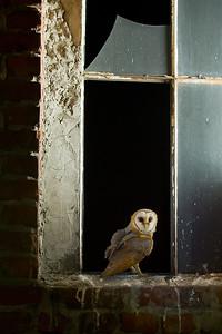 Płomykówka, Tyto alba, 005
