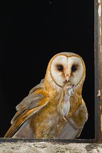 Płomykówka, Tyto alba, 003
