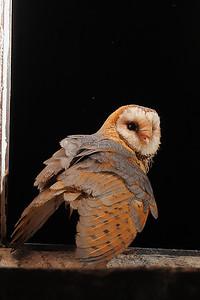 Płomykówka, Tyto alba, 009