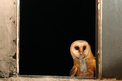 Płomykówka, Tyto alba, 010