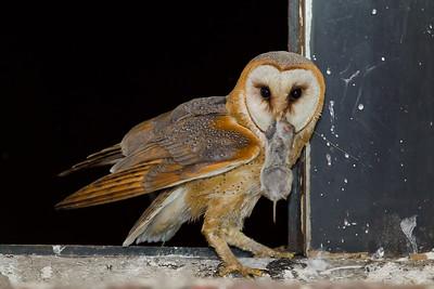 Płomykówka, Tyto alba, 004