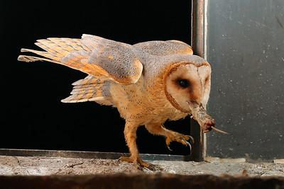 Płomykówka, Tyto alba, 008