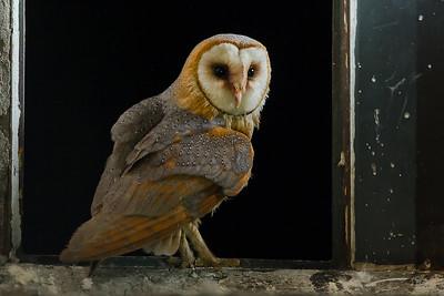 Płomykówka, Tyto alba, 001