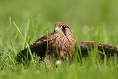 PustułkaPusułka, Falco tinnunculus, 002