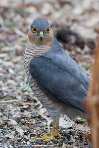Krogulec, Accipiter nisus, 001