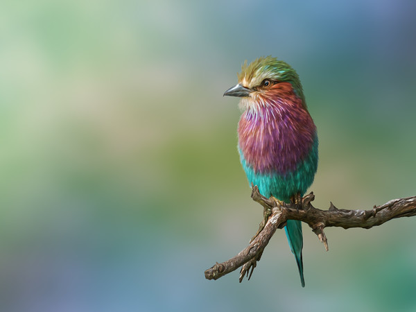 Lillac Breasted Roller Portrait