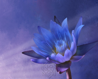 Purple Water Lily painting final
