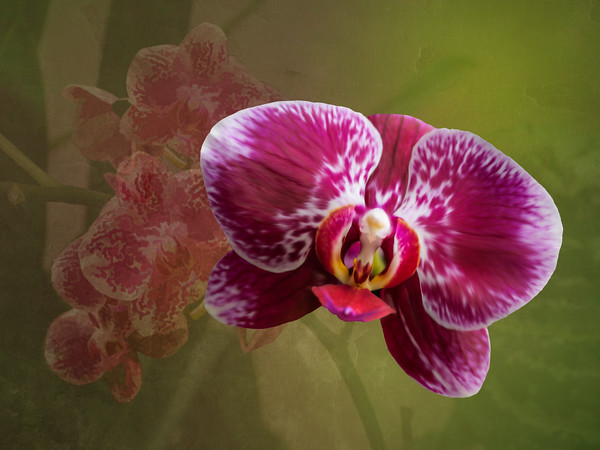Large Vivid Pink Orchid