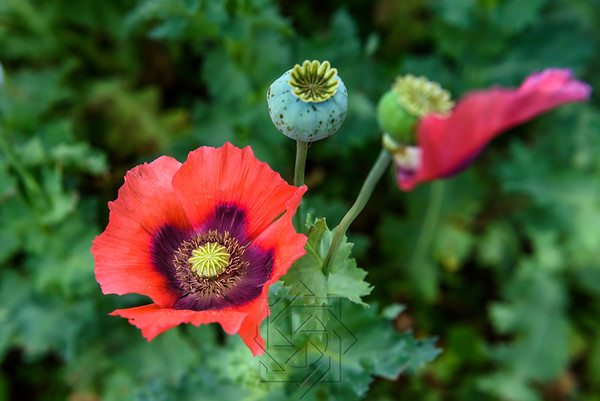 Single poppy bloom with bulb of second flower