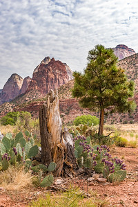 Tree stump with desert cacti and Zion mountains in background