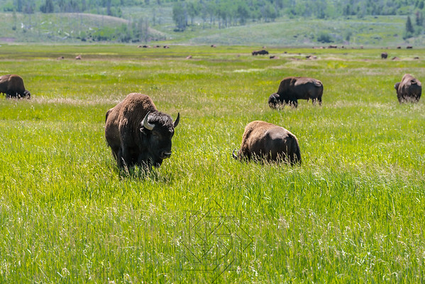 Several bison in the tall green grass in the Tetons
