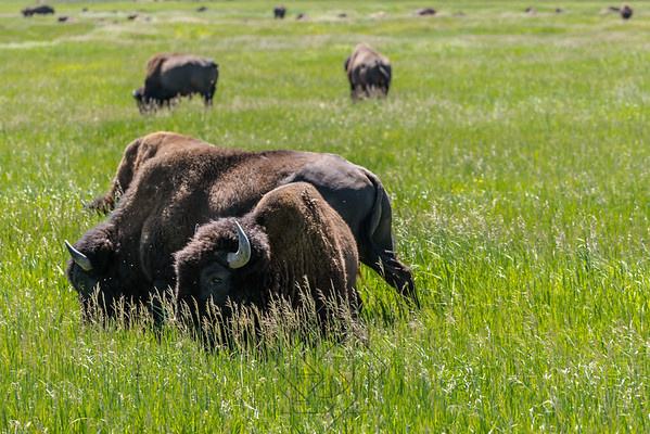 Two buffalo in the tall grass at Elk Ranch Flats