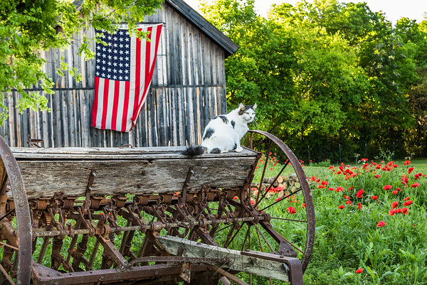 Cat on a farm implement in red poppy field