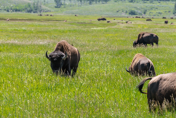 Bison staring while walking in the grasslands