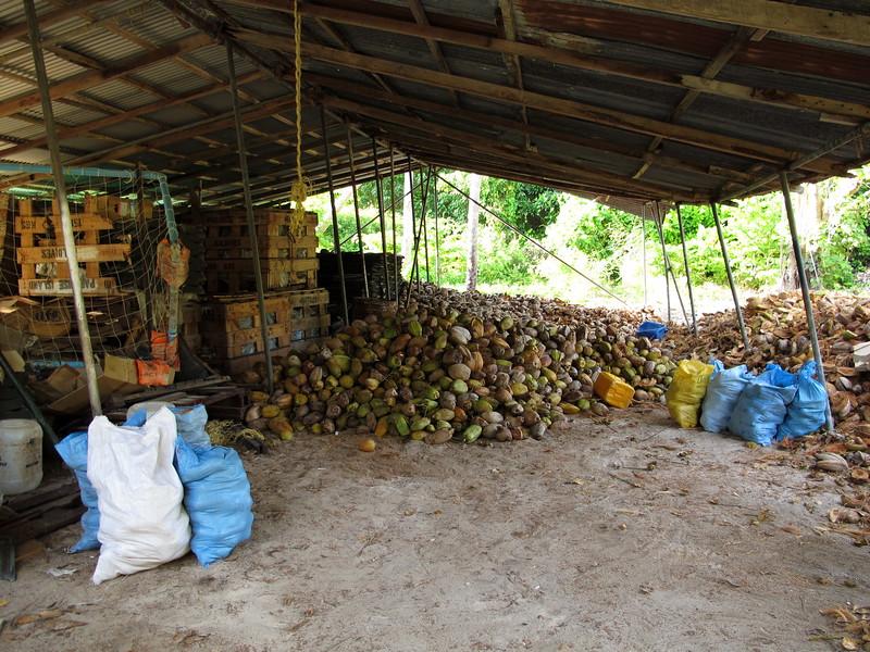 hluboko ve vnitrozemi (po 100m vlevo) nasel jsem louparnu kokosu