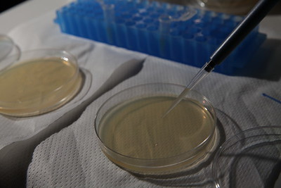 Pipeting engineered bacteria on second Agar + Strep plate