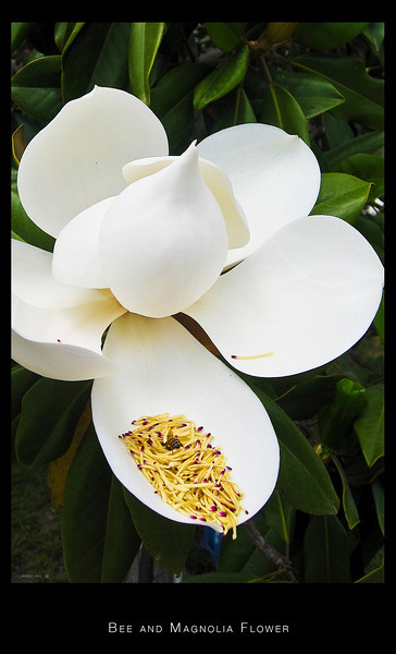 Bee and Magnolia Flower at Tustin Av.