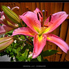 A light rain at Tustin Av. on the Oriental Lily, Stargazer.