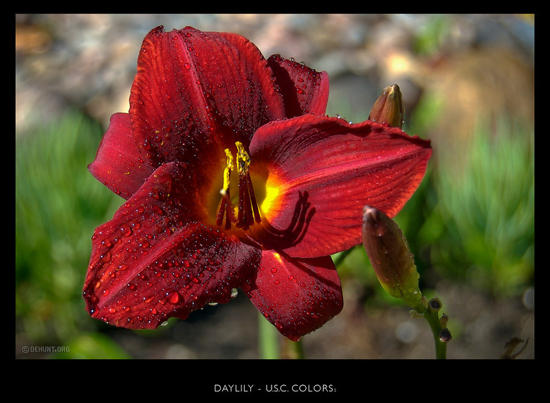USC colored daylily planted in Laura's garden.