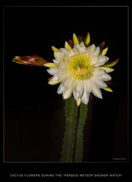 The night blooming cactus blooms during the Perseid, Meteor, Shower Watch.