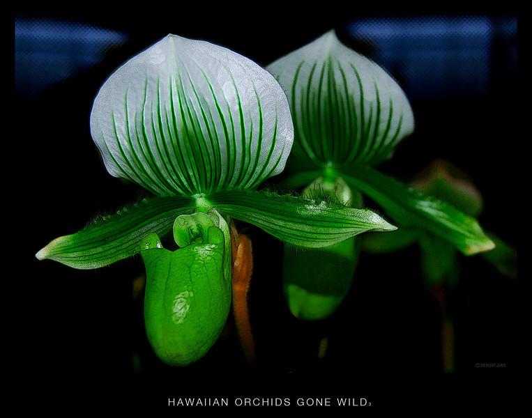 Hawaiian Orchids gone wild 3.