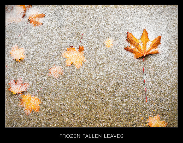 Frozen Fallen Leaves<br /> And just a few fallen leaves on the ground. Within hours all were covered with inches of powder snow.